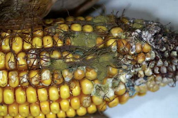 什么食物中黄曲霉毒素含量最高?