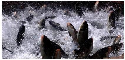 淡水新鲜鱼如何安全选购与食用